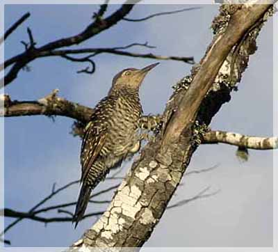 Pitío, Chilean Flicker, Colaptes pitius